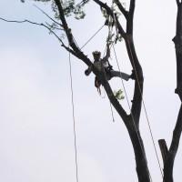 10メートルを超す樹木伐採